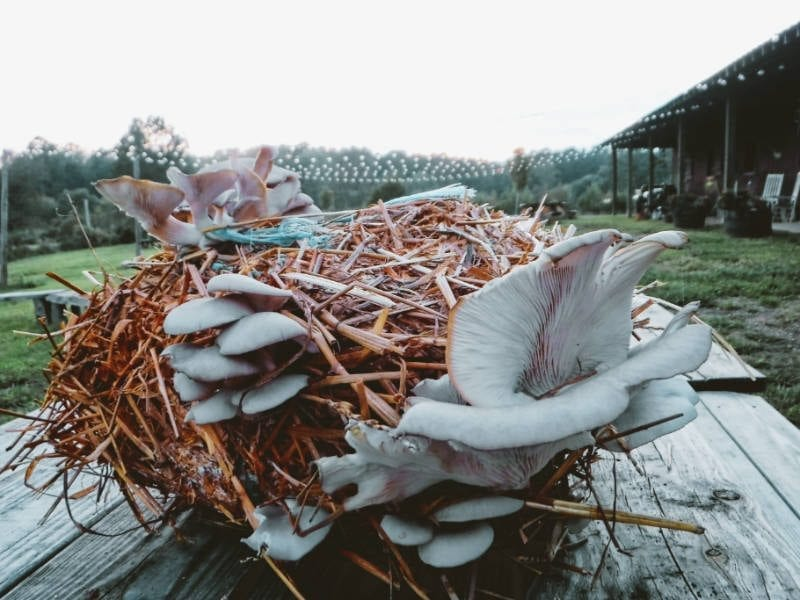 How to Grow Oyster Mushrooms Indoors